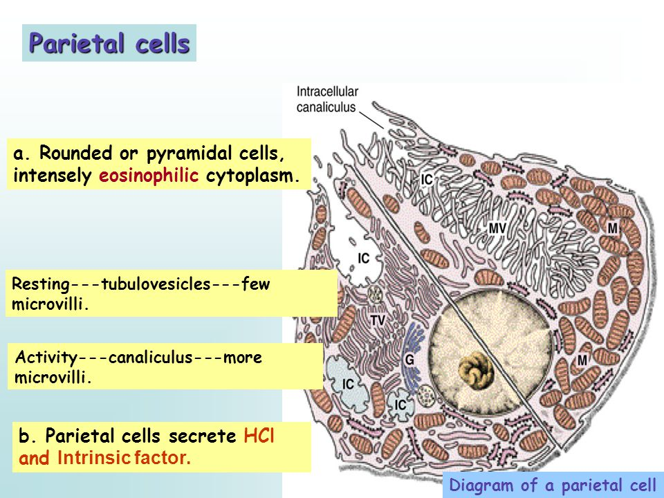 Parietal cells a. Rounded or pyramidal cells, intensely eosinophilic cytoplasm. Resting---tubulovesicles---few microvilli.