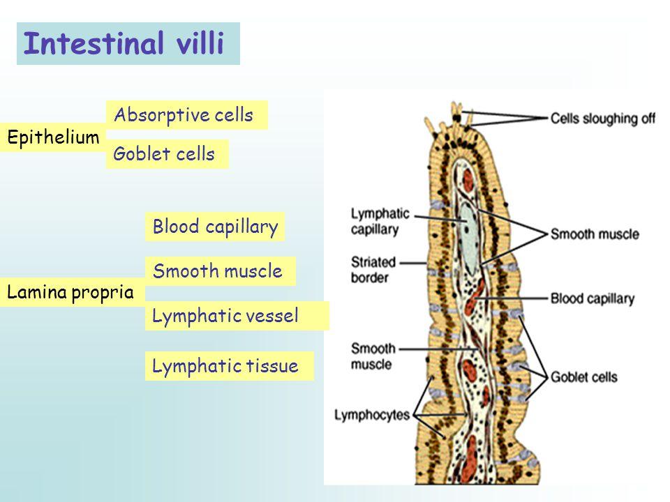 Intestinal villi Absorptive cells Epithelium Goblet cells