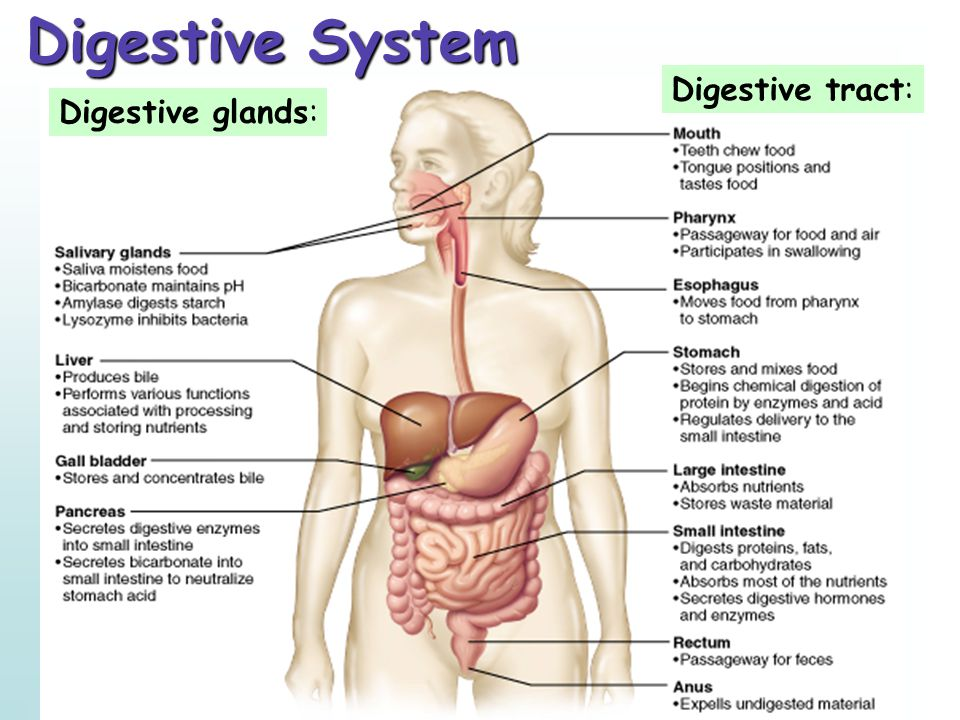 Digestive System Digestive tract: Digestive glands: