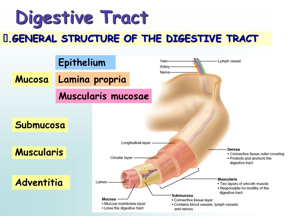 Digestive Tract Ⅰ.GENERAL STRUCTURE OF THE DIGESTIVE TRACT Epithelium