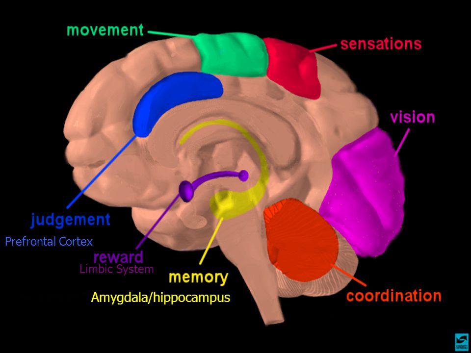 Amygdala/hippocampus