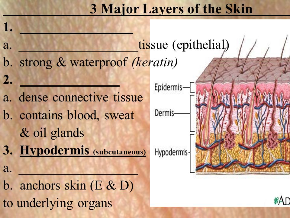 3 Major Layers of the Skin