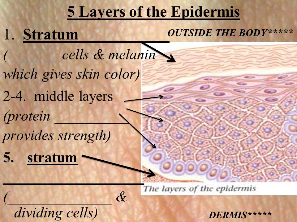 5 Layers of the Epidermis