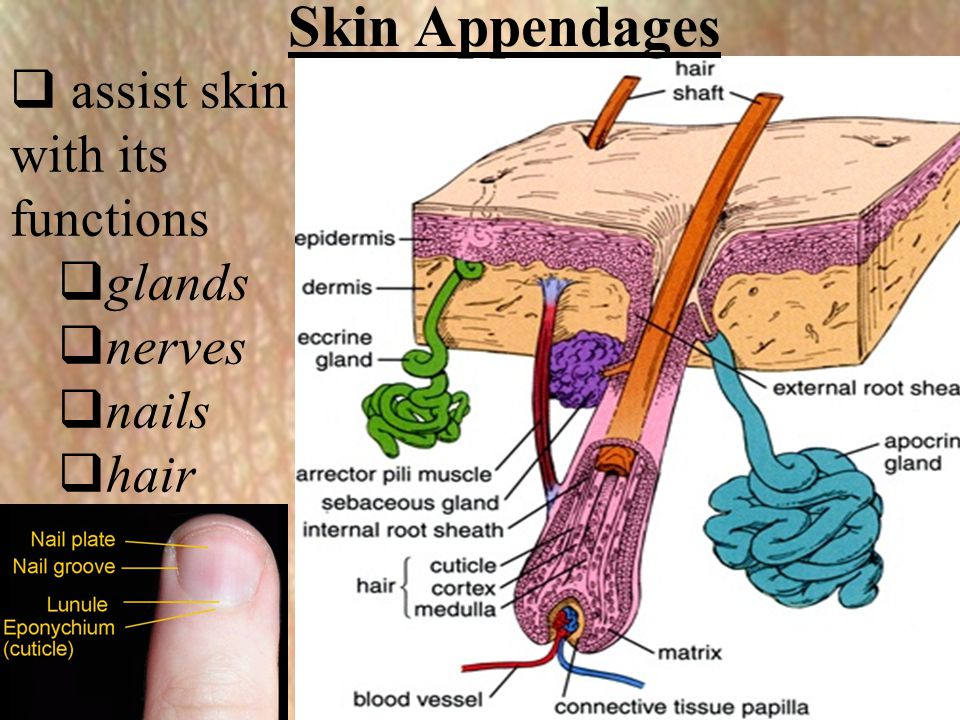 Skin Appendages assist skin with its functions glands nerves nails