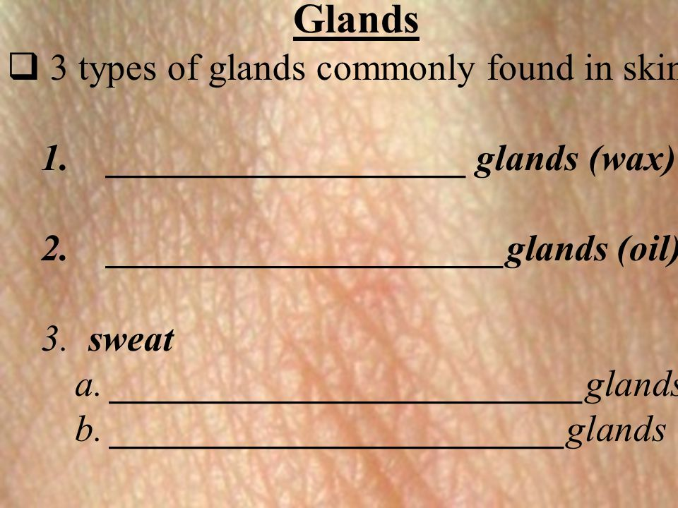 Glands 3 types of glands commonly found in skin