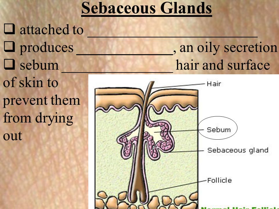 Sebaceous Glands attached to _______________________