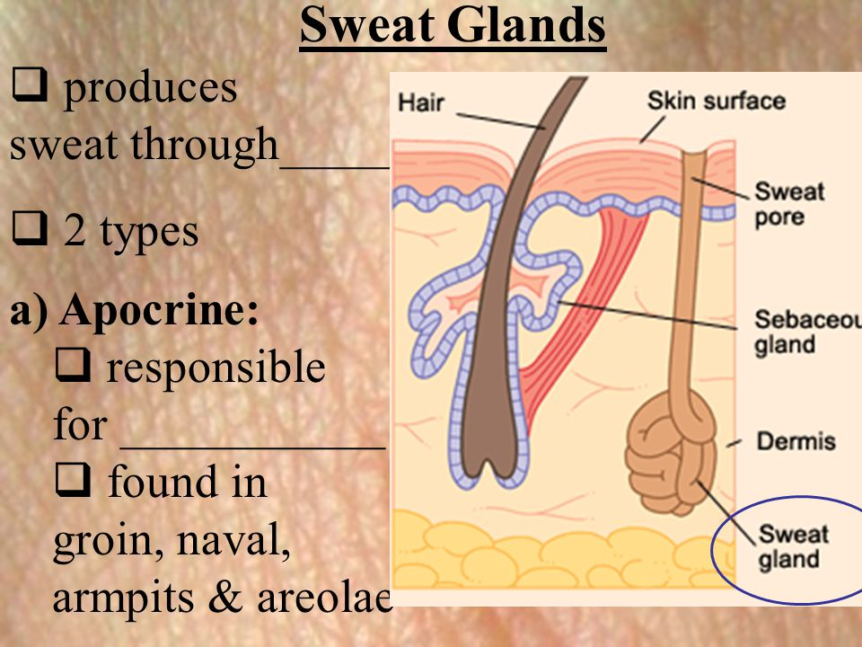 Sweat Glands produces sweat through_____ 2 types a) Apocrine:
