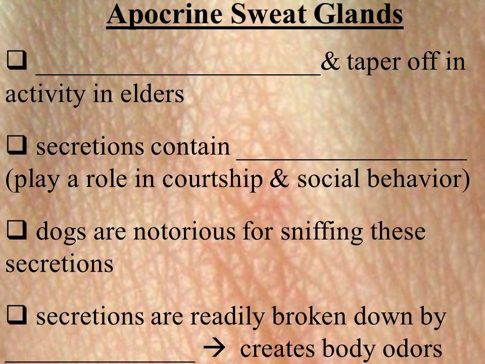 Apocrine Sweat Glands _____________________& taper off in activity in elders.