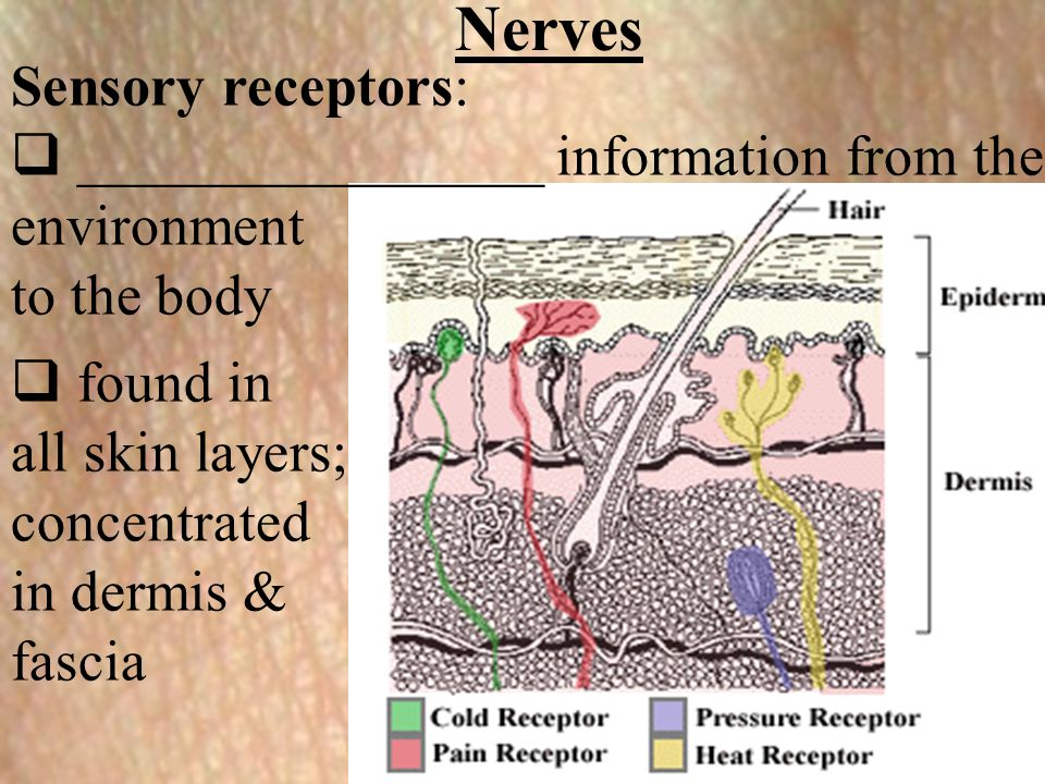 Nerves Sensory receptors: ________________ information from the