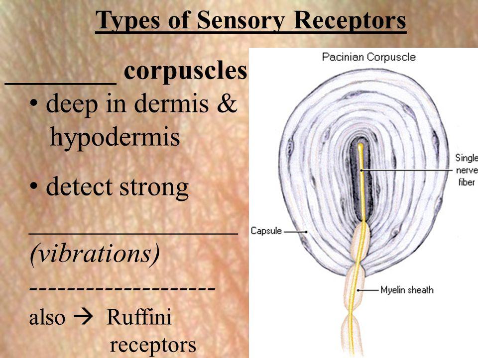 Types of Sensory Receptors