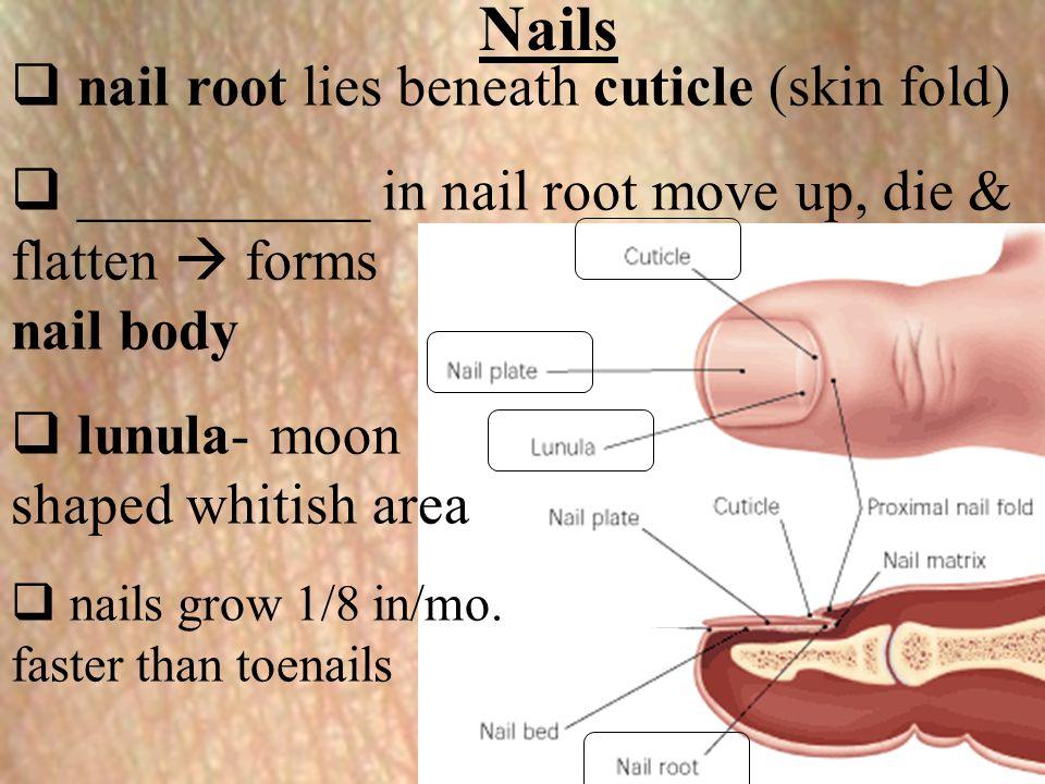 Nails nail root lies beneath cuticle (skin fold)