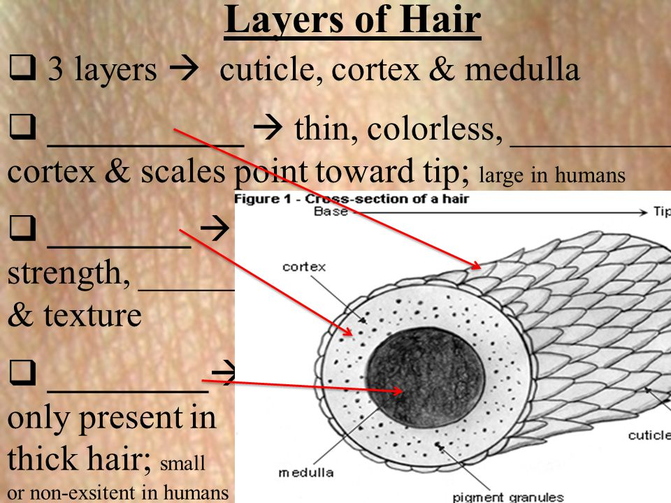 Layers of Hair 3 layers  cuticle, cortex & medulla