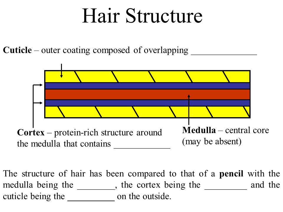 Hair Structure Cuticle – outer coating composed of overlapping ______________.