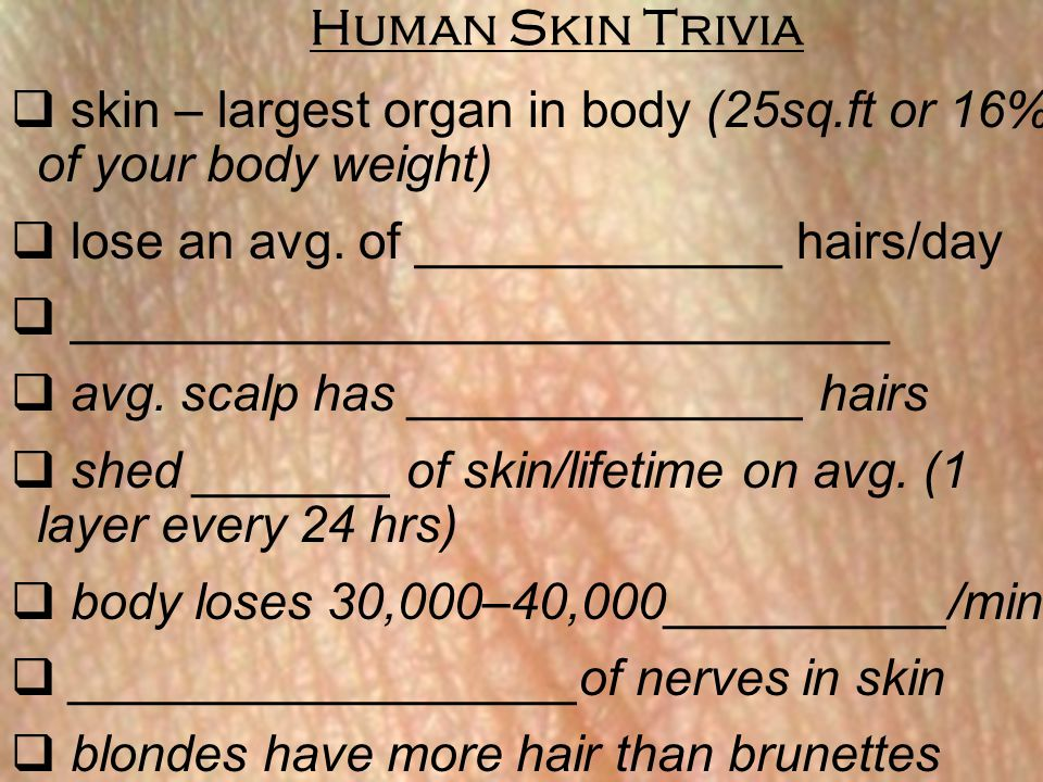 Human Skin Trivia skin – largest organ in body (25sq.ft or 16% of your body weight) lose an avg. of _____________ hairs/day.