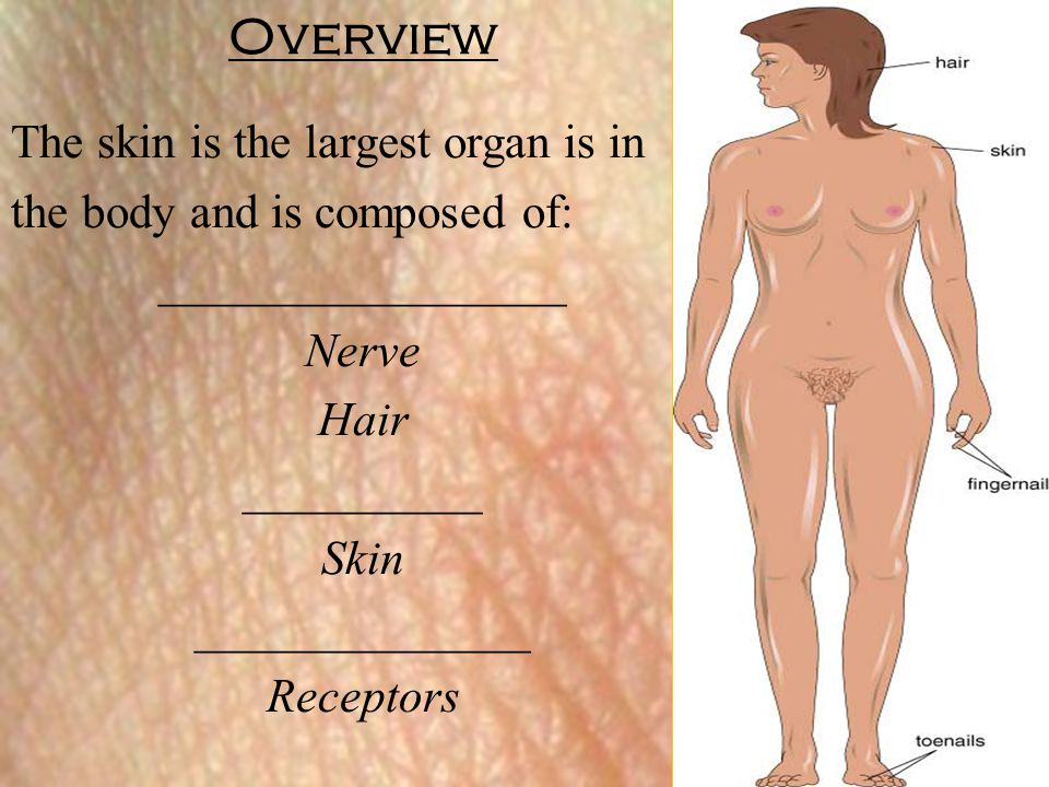 Overview The skin is the largest organ is in
