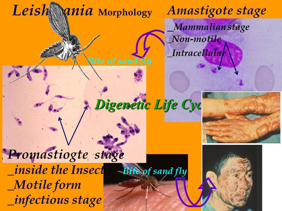 Leishmania Morphology
