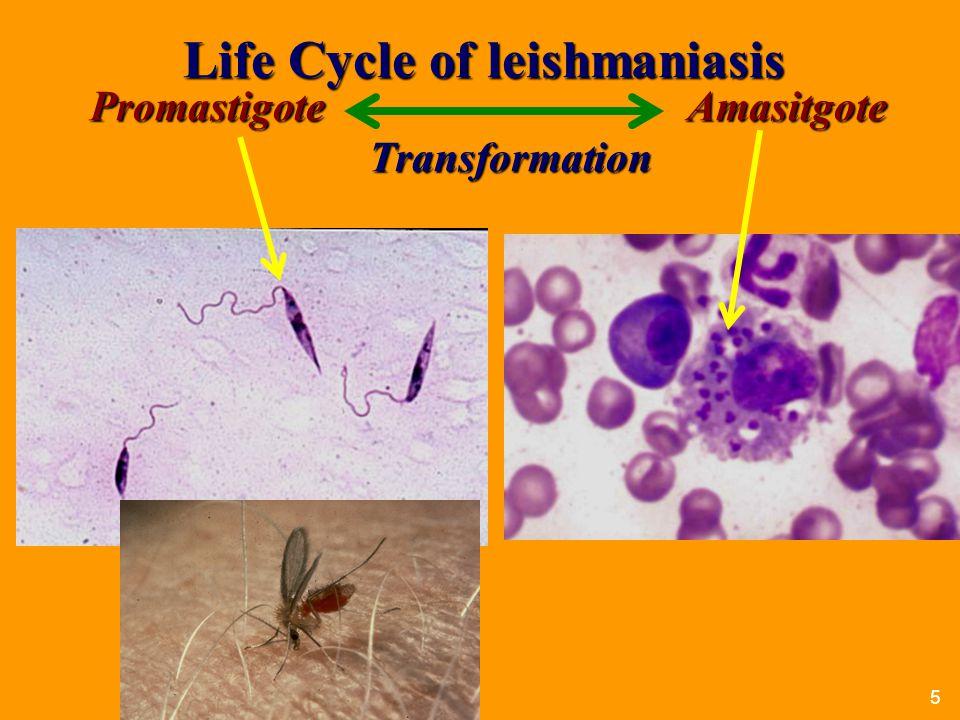 Life Cycle of leishmaniasis