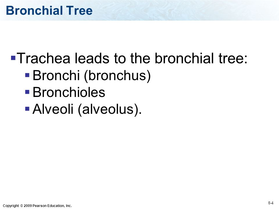 Trachea leads to the bronchial tree:
