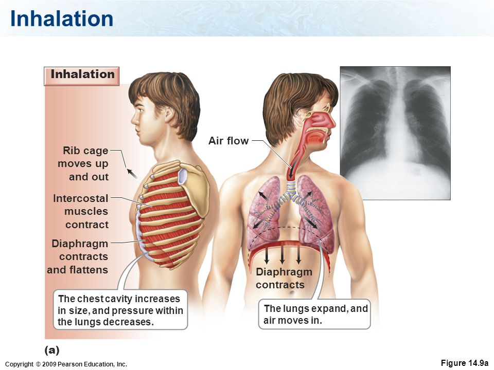 Inhalation Inhalation Air flow Rib cage moves up and out