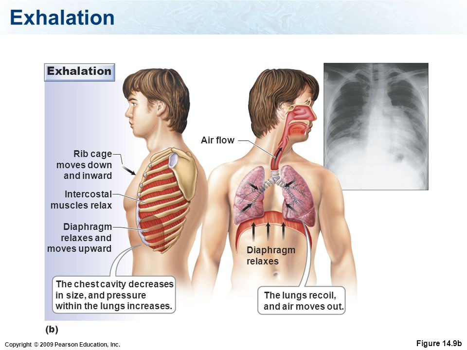 Exhalation Exhalation Air flow Rib cage moves down and inward