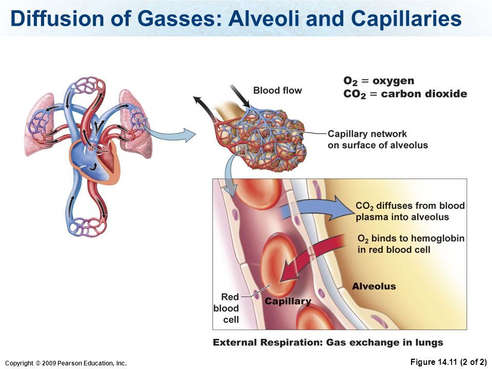 Diffusion of Gasses: Alveoli and Capillaries