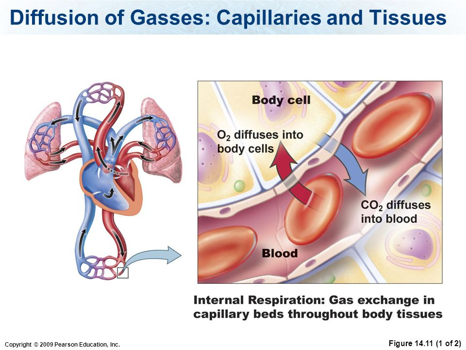 Diffusion of Gasses: Capillaries and Tissues