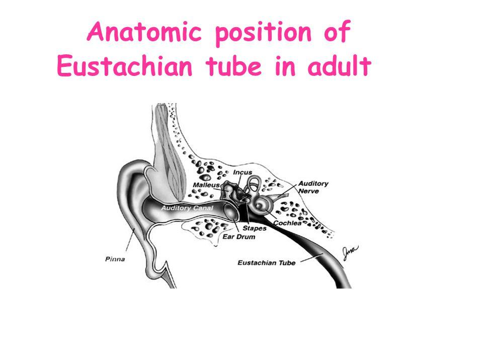 Anatomic position of Eustachian tube in adult