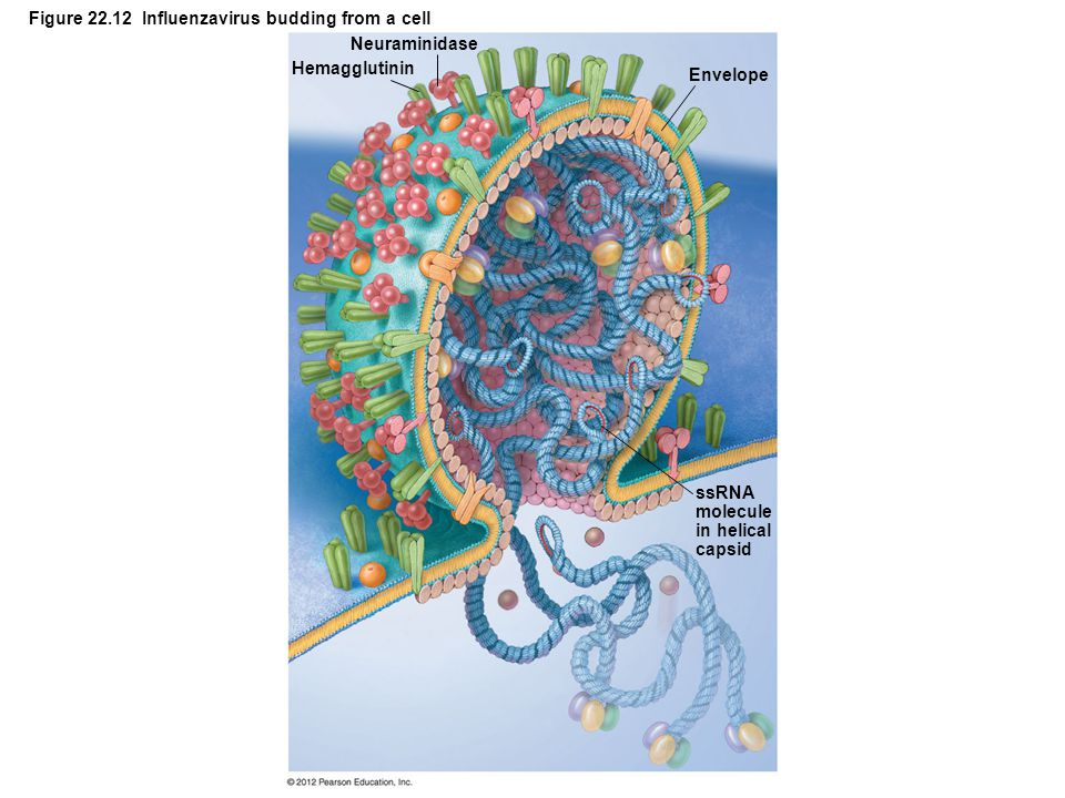 Figure 22.12 Influenzavirus budding from a cell
