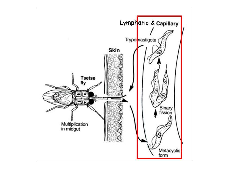 Lymphatic &