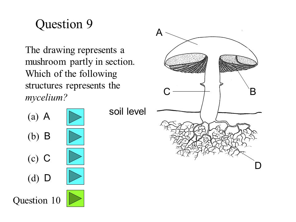 Question 9 A. The drawing represents a mushroom partly in section. Which of the following structures represents the mycelium