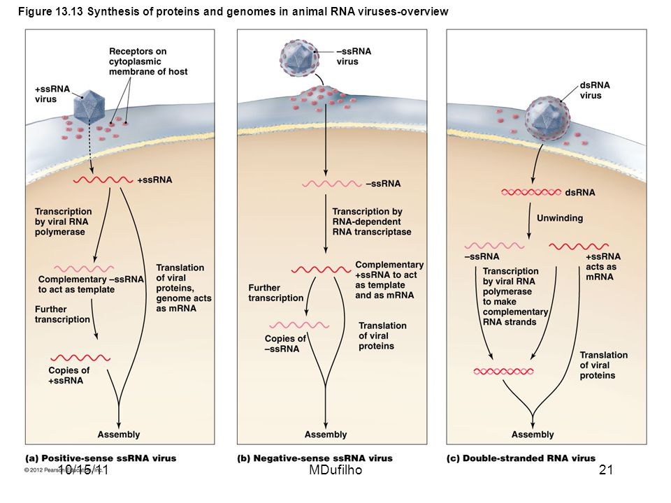 Figure 13.13 Synthesis of proteins and genomes in animal RNA viruses-overview