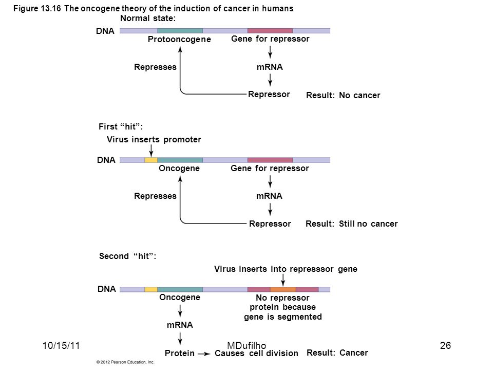 Figure 13.16 The oncogene theory of the induction of cancer in humans