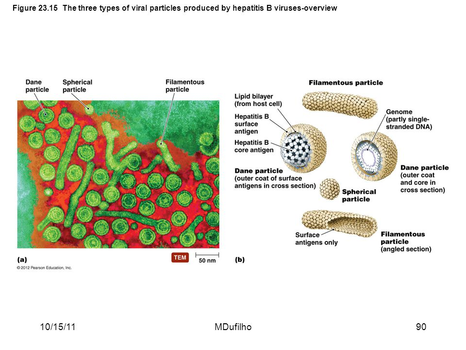 Figure 23.15 The three types of viral particles produced by hepatitis B viruses-overview