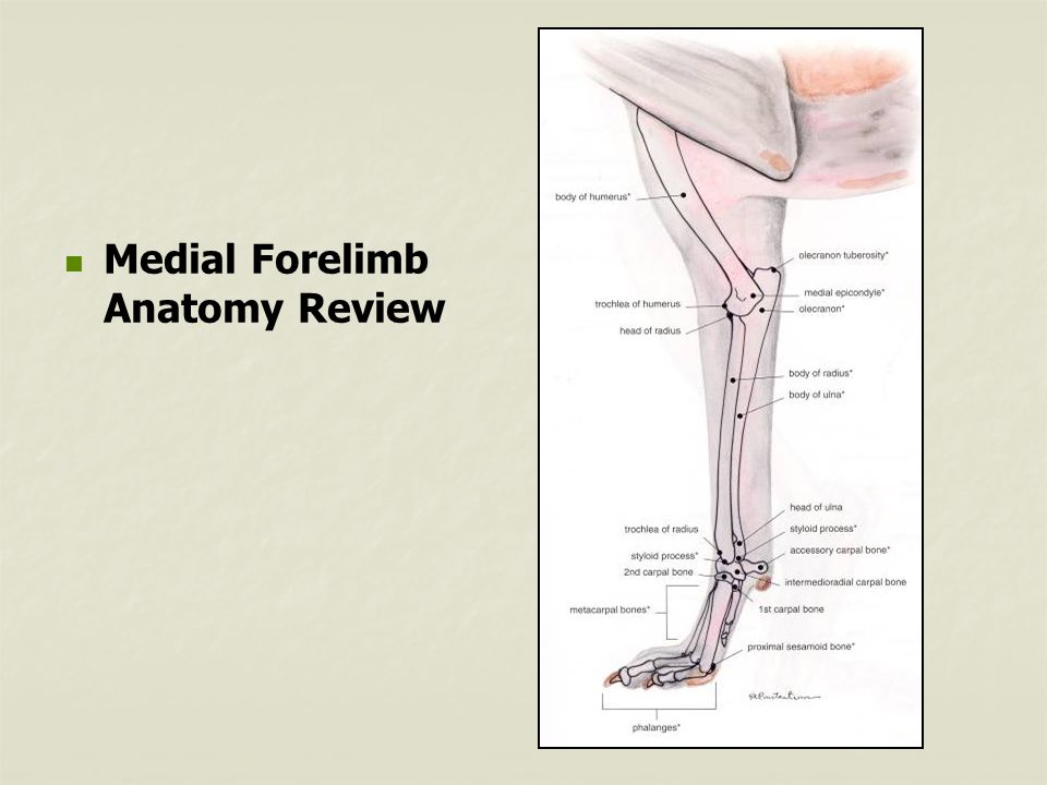 Medial Forelimb Anatomy Review