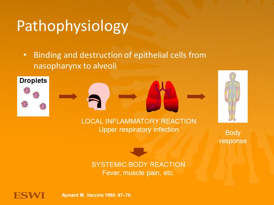 Pathophysiology Binding and destruction of epithelial cells from nasopharynx to alveoli. SYSTEMIC BODY REACTION.