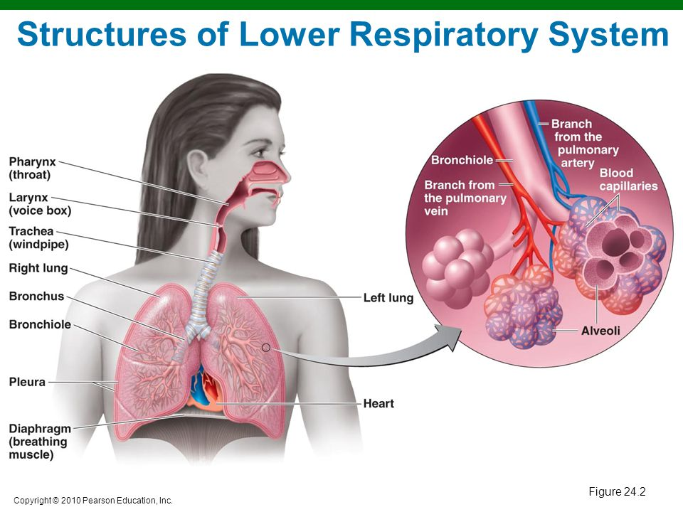 Structures of Lower Respiratory System