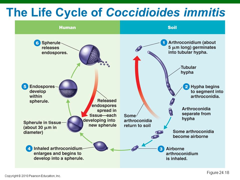 The Life Cycle of Coccidioides immitis