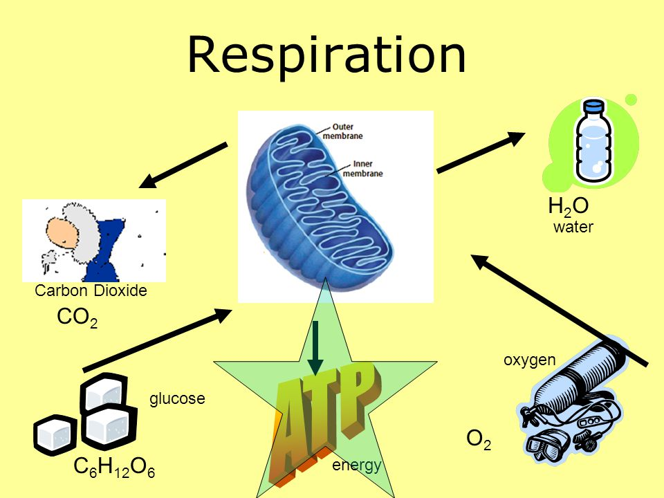 Respiration ATP H2O CO2 O2 C6H12O6 water Carbon Dioxide oxygen glucose