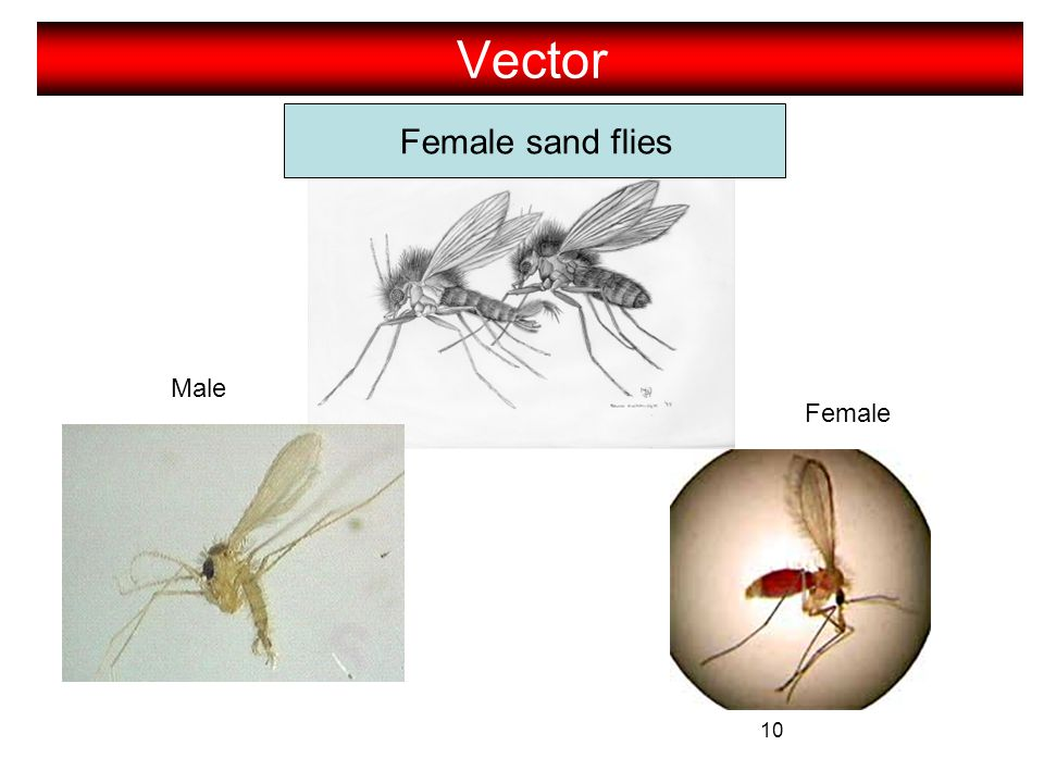 Vector Female sand flies Male Female