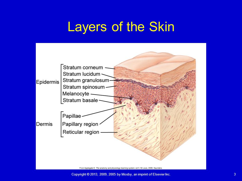 Layers of the Skin The thin stratum corneum protects underlying cells and tissues from dehydration and prevents entrance of certain chemical agents.