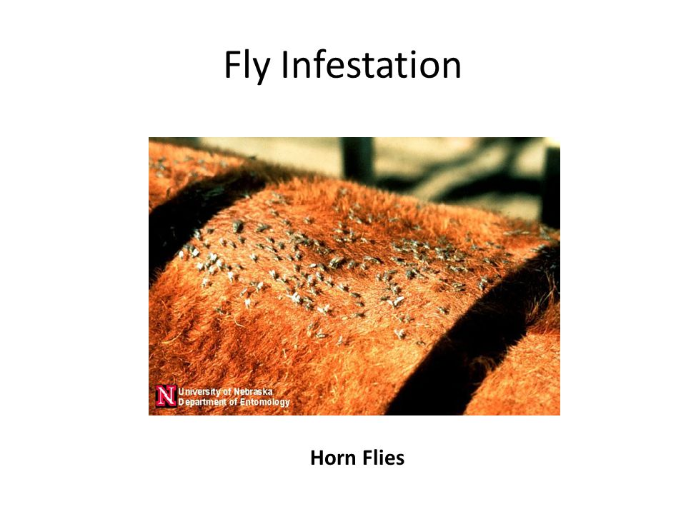 Fly Infestation Horn Flies