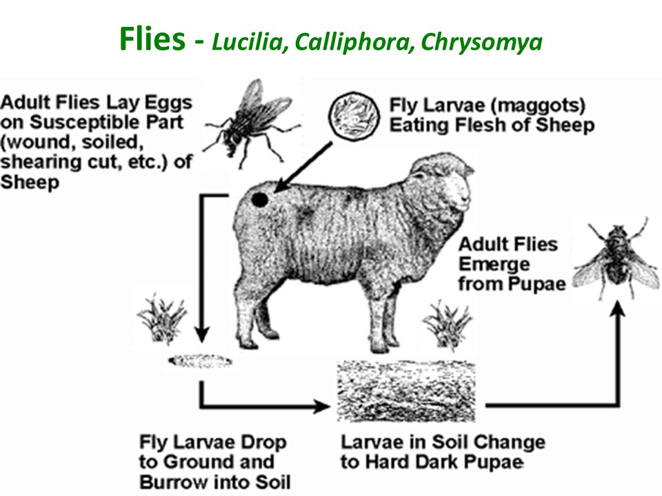 Flies - Lucilia, Calliphora, Chrysomya