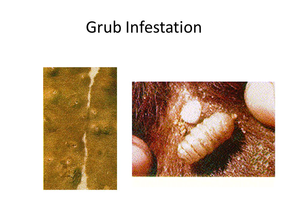 Grub Infestation
