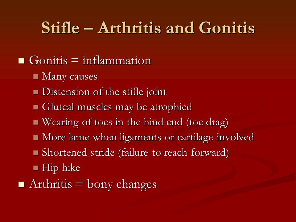 Stifle – Arthritis and Gonitis