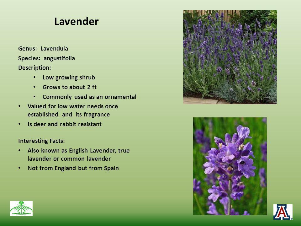 Lavender Genus: Lavendula Species: angustifolia Description: