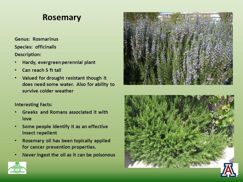 Rosemary Genus: Rosmarinus Species: officinalis Description: