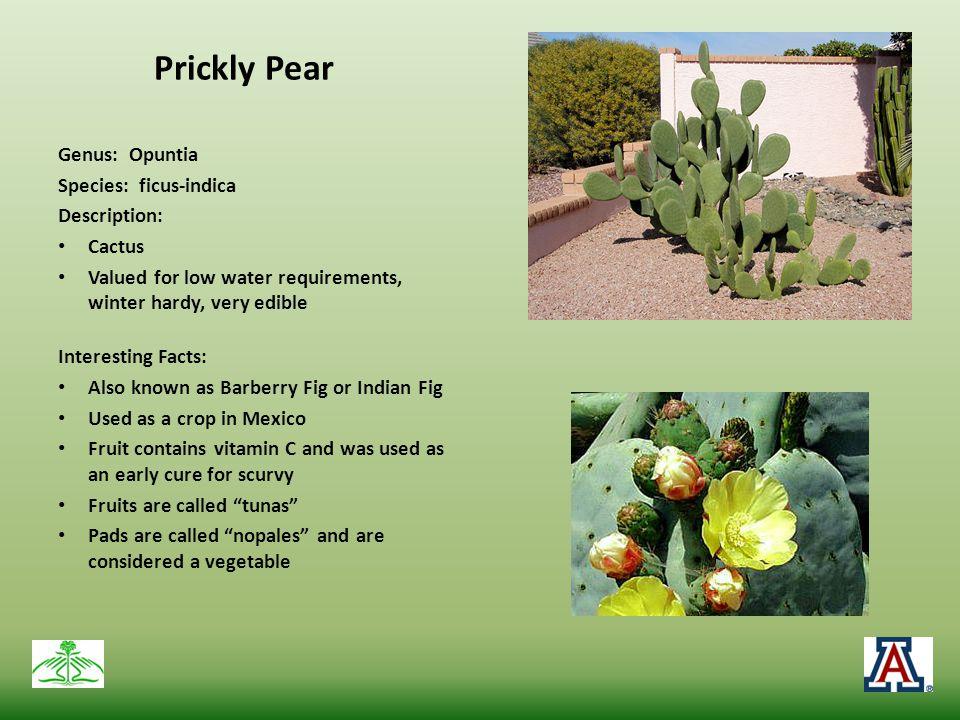 Prickly Pear Genus: Opuntia Species: ficus-indica Description: Cactus