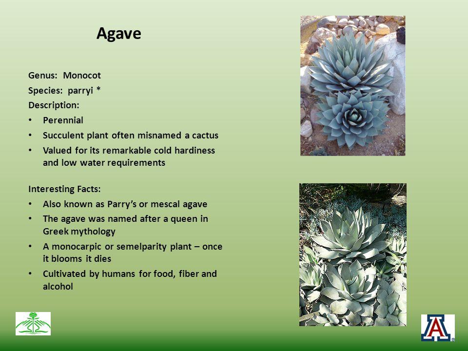 Agave Genus: Monocot Species: parryi * Description: Perennial
