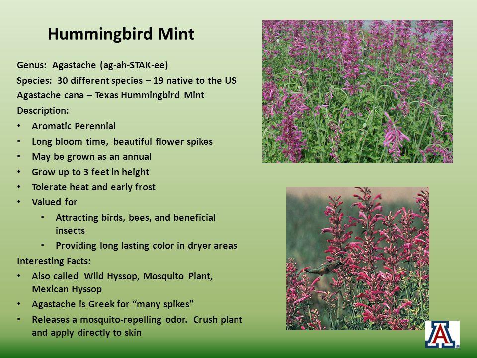 Hummingbird Mint Genus: Agastache (ag-ah-STAK-ee)