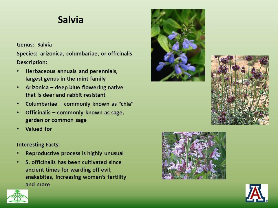 Salvia Genus: Salvia Species: arizonica, columbariae, or officinalis